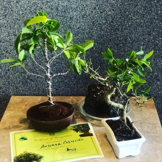 Ficus S shaped Bonsai