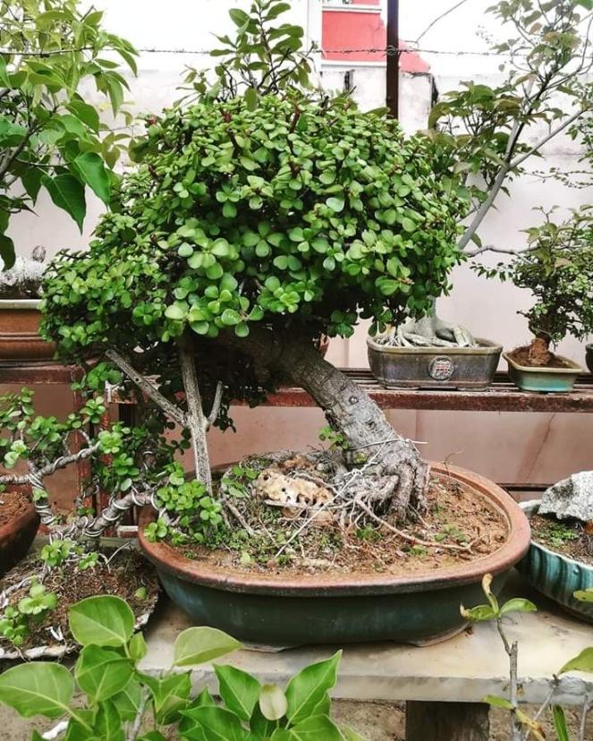 Jade Broom Style Bonsai